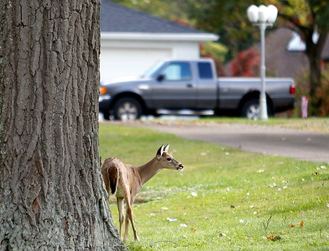 A deer is seen hanging out in a yard of a home on County Road 1095 just south of U.S. 42 on Monday.