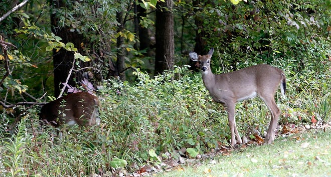 Deer hang out in a yard off of County Road 1095 just south of U.S. Route 42 last month.