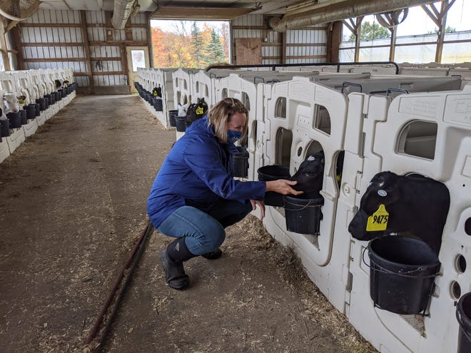 Democratic state Senate candidate Leslie Danks Burke visits a cow at the Lowell Smith farm in Hornell on Saturday, Oct. 3. Danks Burke toured the farm during a campaign swing through the Canisteo Valley.