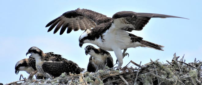 A mother osprey takes care of her chicks on Anastasia Island.