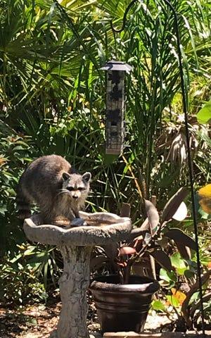 Raccoon taking a bath in Ocean Palms.