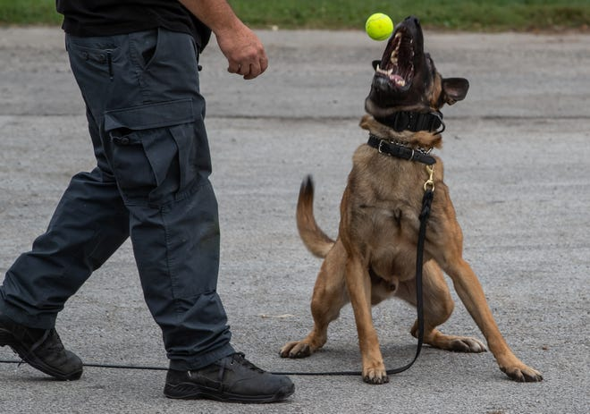 Nixa Police Department officer Ronald Hilburn works with dog Jack at a Vohne Liche Kennels training facility near Grissom Air Force Base on Wednesday, Sept. 23, 2020. After obedience training, Jack is rewarded with his tennis ball.