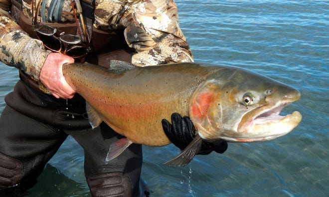 A Lahontan cutthroat trout caught at Pyramid Lake, 30 miles northeast of Reno. Pyramid Lake is opening for Lahontan cutthroat trout fishing on Friday.