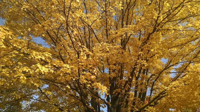 A maple tree shows off its golden coat of fall finery.