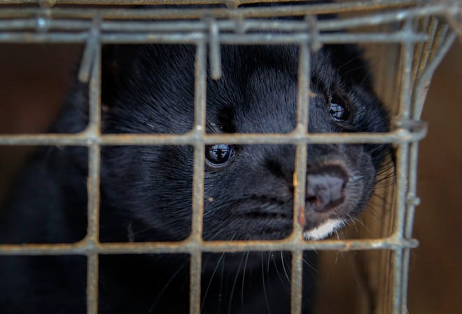 Industry exports say growing coronavirus spread among humans in state increases risk for mink farms.