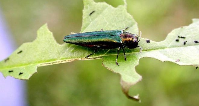 New research by an international team of scientists suggests that worldwide, invasion by non-native insects will increase 36 percent by 2050. Photograph shows an emerald ash borer, a non-native insect that has proven highly destructive in U.S. forests.