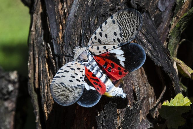 An adult spotted lanternfly.