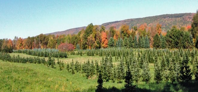 The Open House at All Western Evergreen Nursery and Christmas Tree Farm on Liberty Pole Road in beautiful Springwater is set for Saturday, Oct. 10 between 10 a.m. and 3 p.m.