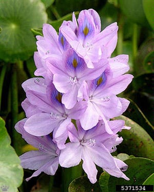A water hyacinth bloom.