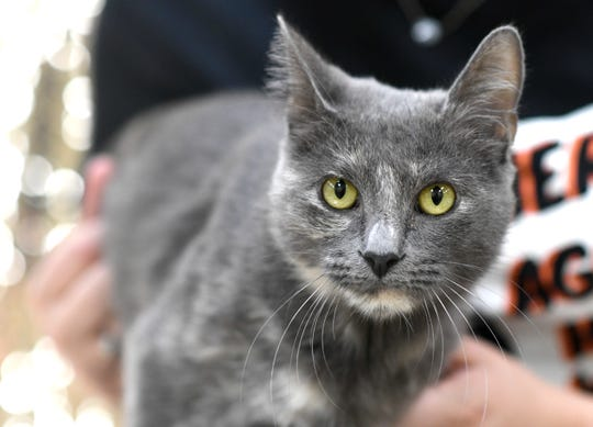 Mama is a two-year-old Domestic Short Hair. She is a vocal kitty. Mama loves to be sneaky and has been at the Gulf Coast Humane Society since August 2020. Wanna meet Mama? Call the Gulf Coast Humane Society at 361-225-0845 or visit https://www.gchscc.org
