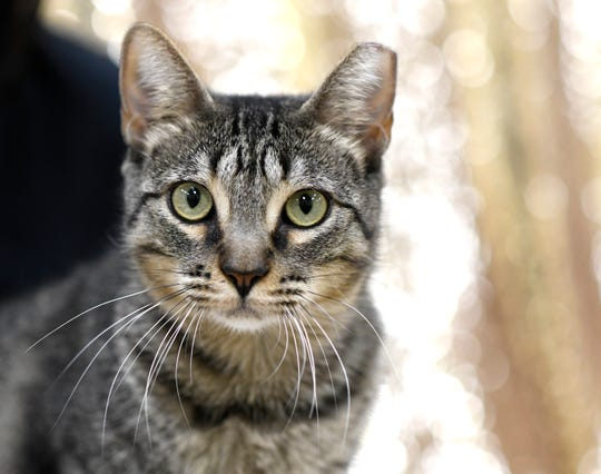Megan is a three-year-old Domestic Medium Hair. She is a love bug, but doesn't like other cats. Megan has been at the Gulf Coast Humane Society since August 2020. Wanna meet Megan? Call the Gulf Coast Humane Society at 361-225-0845 or visit https://www.gchscc.org