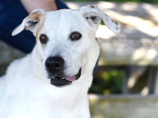 Bailey is a six-year-old Labrador retriever. She is sweet but can be shy. Bailey needs to be in a home without other animals or kids and has been at the Gulf Coast Humane Society since February 2020. Wanna meet Bailey? Call the Gulf Coast Humane Society at 361-225-0845 or visit https://www.gchscc.org