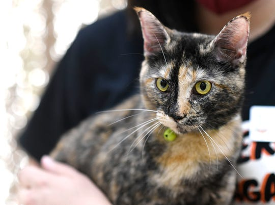 Wilma is an 11-month-old Domestic Short Hair. She is curious and loves to explore. Wilma is very loving and has been at the Gulf Coast Humane Society since January 2020. Wanna meet Wilma? Call the Gulf Coast Humane Society at 361-225-0845 or visit https://www.gchscc.org