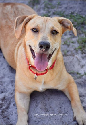 Goldie is a sweet 1-year-old Corgi/Lab/Hound mix weighing 38 pounds. She has a great personality and is the size of a Corgi, with a Lab face and tail. Goldie loves other dogs and does well with kids (can be cat tested). Interested in adding Goldie to your home? Stop by our shelter to meet her!