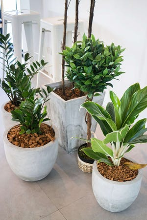 Houseplants have become a popular choice for home decorating with some people collecting more than 100 plants in their homes and paying more than $100 for a plant.