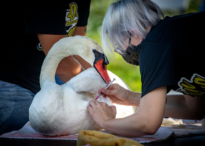 Veterinarian Dr. Price Dickson gives a mute swan an injection during a wellness exam as part of the 40th annual Swan Roundup at Lake Morton in Lakeland on Wednesday.