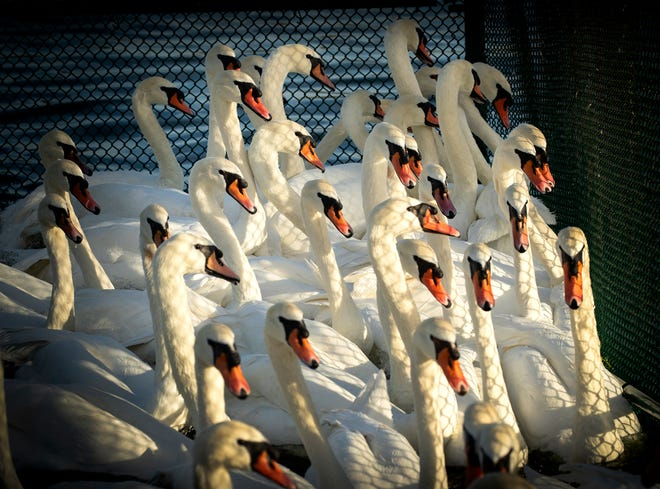 Swans are penned up waiting for a wellness exam during the 40th annual Swan Roundup in Lakeland.