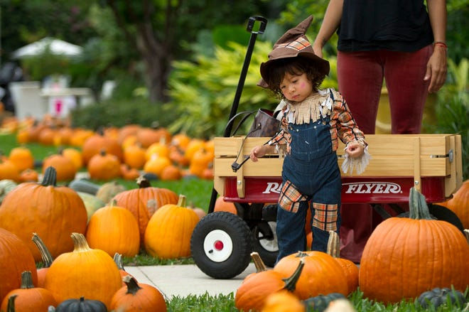 Martin Escobar browses pumpkins during The Royal Poinciana Plaza's Pop-Up Patch for Philanthropy benefitting Cancer Alliance of Help and Hope in 2019.