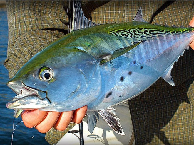 For pure sport, an angler cannot beat a tunoid species seasonally common in this area which goes by many different monikers such as the false albacore.