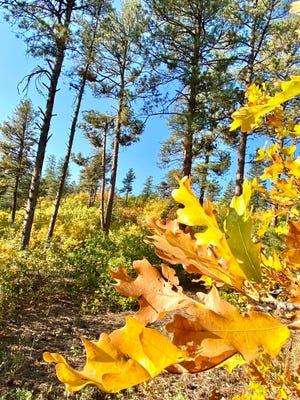 Oak leaves soaking up the early autumn sunlight in Pueblo Mountain Park.