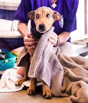 Alicia Fuller, the lead kennel tech at the Gulf Coast Humane Society finishes up bathing a newly acquired dog on Tuesday, October 6, 2020.