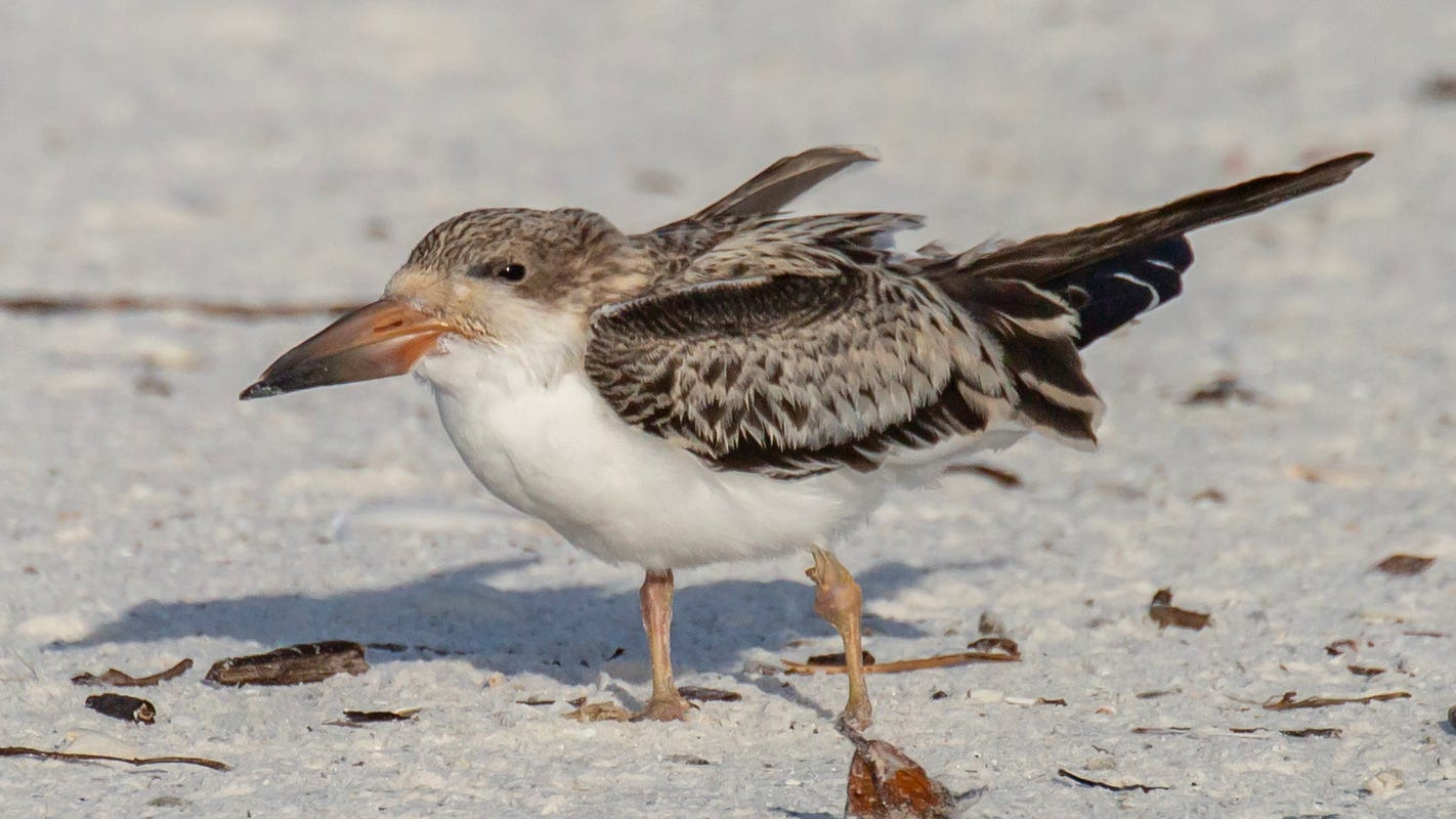 Over 100 young seabirds got sick or died in Florida this summer from a mystery illness. Officials now know what it was.