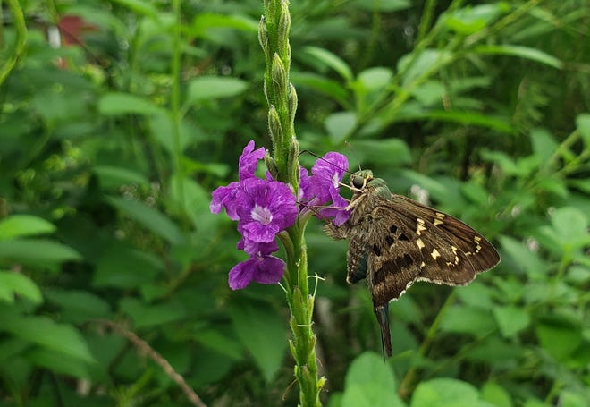 A long-tailed skipper on a porterweed flower.