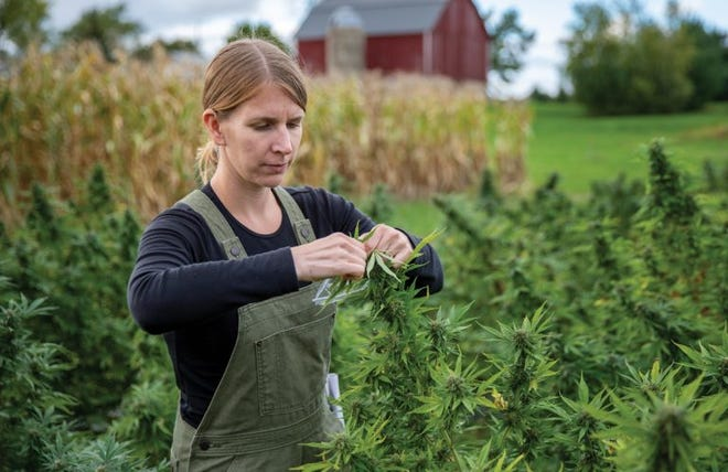 Assistant professor of horticulture Shelby Ellison manages UW's research and outreach efforts related to hemp varieties that are grown for CBD oil harvesting.