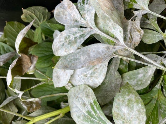 Powdery mildew is a common fungus that can occur on peony as well as many other perennial flowers. [Laura Murphy]