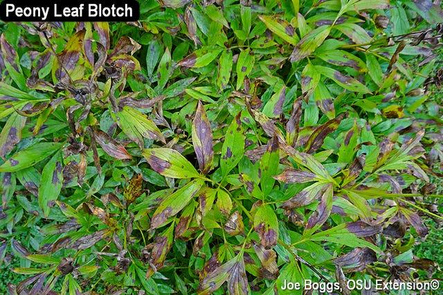 Peony leaf blotch