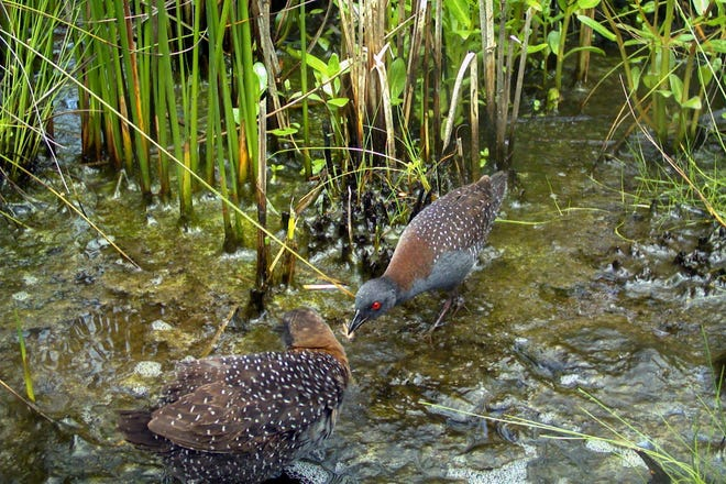 A male black rail offers an insect to a female as part of their courtship behaviors.