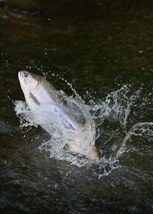 A steelhead swims upstream by jumping up a fish ladder on Trout Run in Fairview Township. There are several reports of area steelhead streams being in good shape in terms of flow, color and numbers of fish.