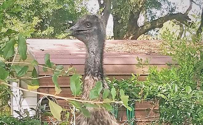 A loose emu is spotted just before capture at Nichols Truck Body on Cahoon Road on Jacksonville's Westside.