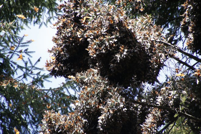 Monarchs at a Mexican butterfly sanctuary.