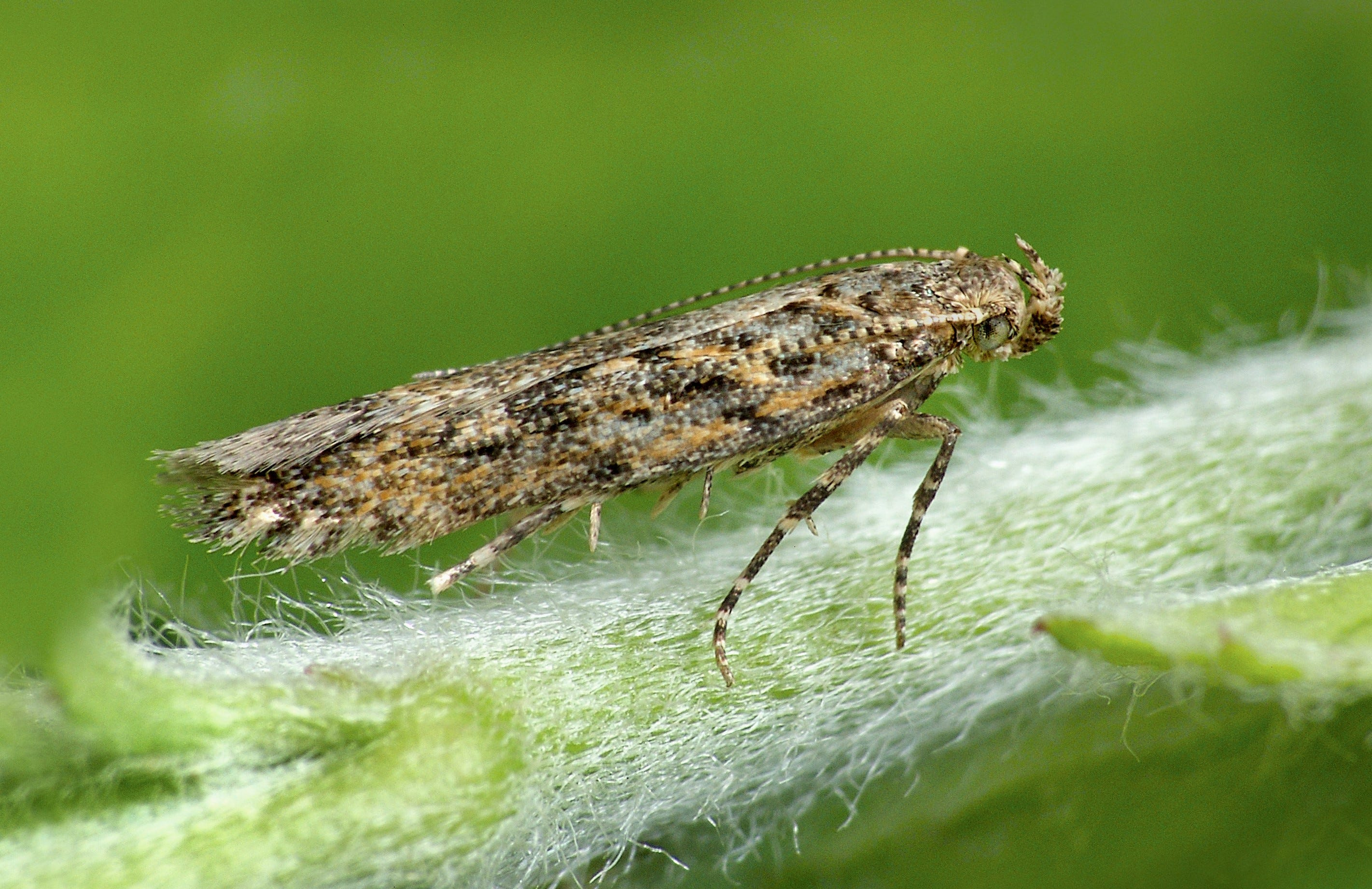 The Tuta absoluta, a moth and type of leafminer capable of destroying an entire crop of nightshade plants such as tomatoes and eggplant.