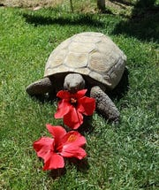 Gus, a desert tortoise, eats hibiscus flowers. Gus is owned by Fred and Debbie Santesteban in Chandler and he was adopted from the Arizona Game and Fish Department in 2001.