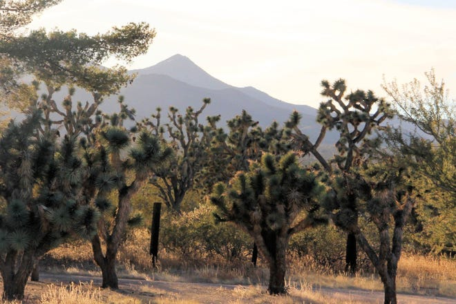 Nevada's largest Joshua tree has been measured in southern Clark County.