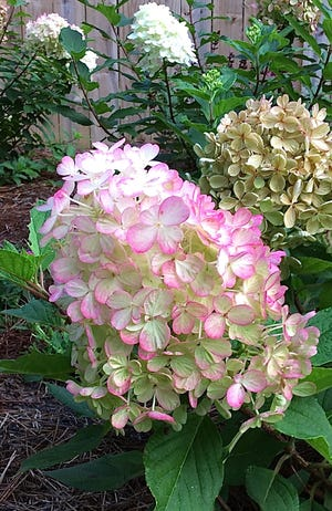 Though Fire Light Tidbit is small in size, the blooms are large and borne on sturdy stems.
