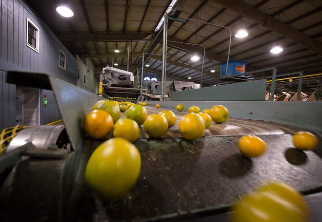 Valencia oranges tumble down a conveyor after being washed at Peace River Citrus packinghouse in Fort Meade
