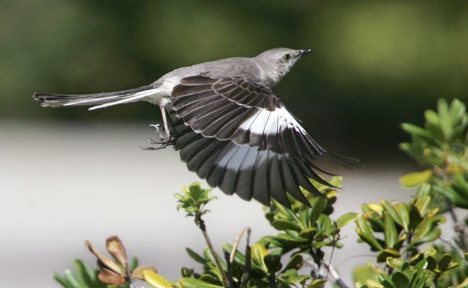 A mocking bird takes flight from a hedge, where it had a nest tucked inside.