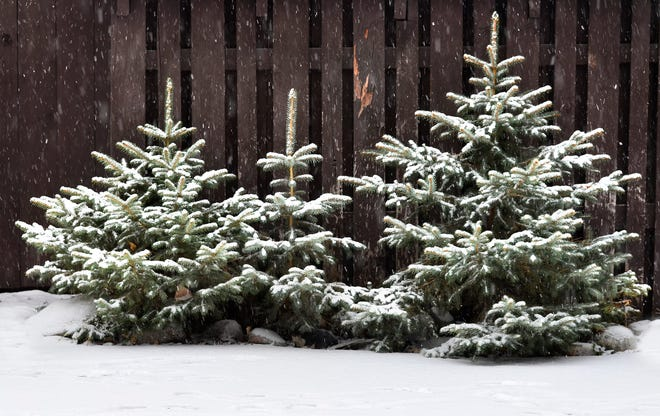 Wind and sun can cause problems for evergreens and other shrubs. Wrap susceptible plants in burlap or create a wind screen to prevent this problem.