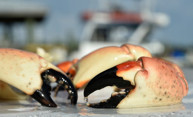Florida stone crab season starts Thursday, Oct. 15. Frozen stone crab claws, pictured at Star Fish Co. in Cortez, are from the previous season.