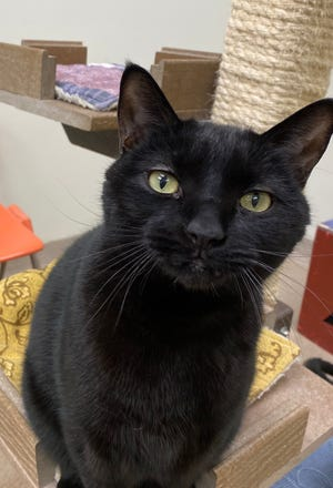 Shadow Boom is waiting at the Oshkosh Area Humane Society to be adopted along with his best friend, Tigger Roo.
