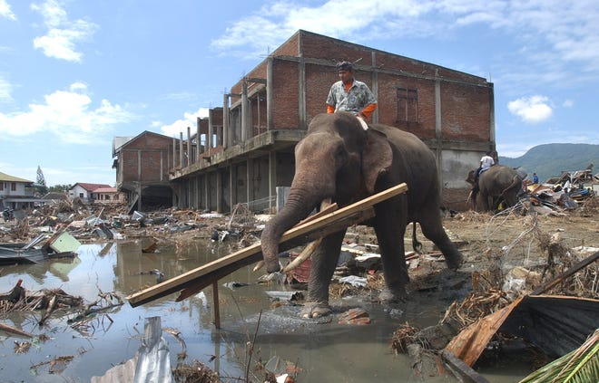 With the help of elephants, a team of salvagers retrieve useful pieces of timber from the destroyed areas of last month's massive tsunami Tuesday, Jan. 18, 2005 in Banda Aceh, Indonesia.