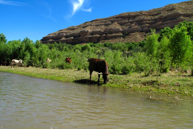 In this Sunday, June 1, 2014, photograph, cattle graze at the edge of the Verde River in Camp Verde, Ariz. An 84-acre ranch along the Upper Verde River is being added to the Prescott National Forest to help protect the river's natural state and eventually enhance public access.