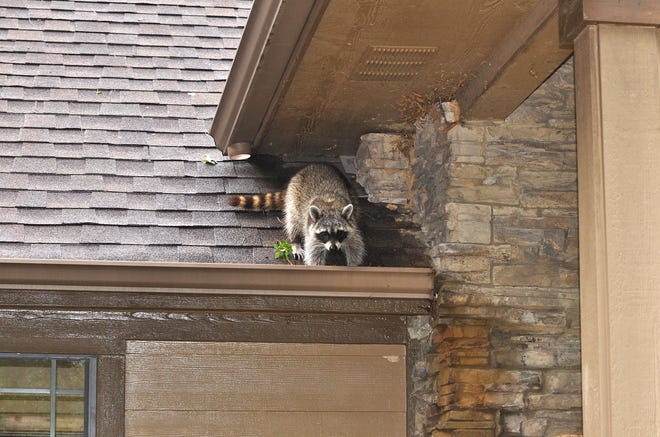 To discourage racoons from taking up residence inside your house, try loud music.