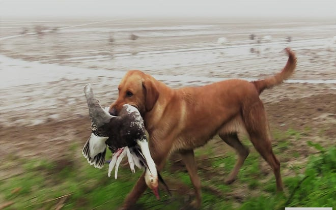 Nellie finishing up a retrieve of a snow goose after a successful shot by a hunter.