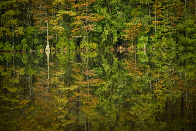 Trees are reflected in the millpond at Carver's Creek State Park in Spring Lake on Monday, Oct. 12, 2020.