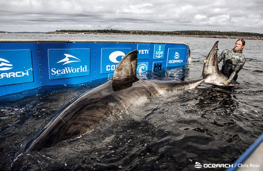 Nukumi, a 17-foot, 2-inch, 3,541-pound female shark, as seen aboard the OCEARCH research ship on Oct. 2, when she was captured long enough by researchers to place a satellite marker on her and take biological samples. .