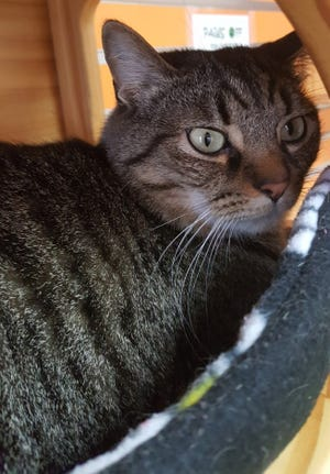 Nick and Sherry Edson of North Prairie adopted Manny the cat from  the Humane Animal Welfare Society of Waukesha County in May.